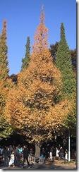 230px-Ginkgo_tree_in_Jingu_Gaien_Ginkgo_Street_Tokyo