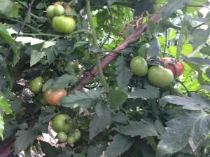 Plantacion de tomates en Costa Rica